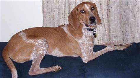 do bluetick coonhounds shed what type of dogs don t shed yahoo answers