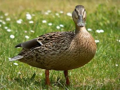 Ducklings University Duck Hen Cambridge Club York