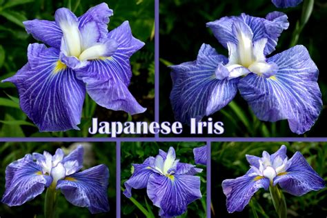 17 best images about japanese irises on sun