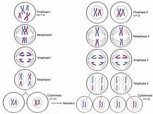 Topic 5  Cellular Reproduction  Mitosis  Meiosis