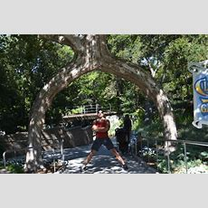 Posing Under Circus Tree  Picture Of Gilroy Gardens