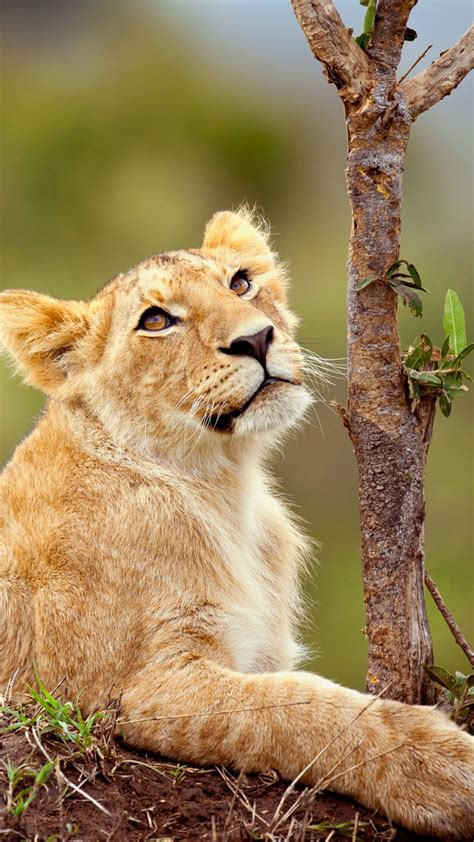 wallpaper lion cub lioness female hd animals