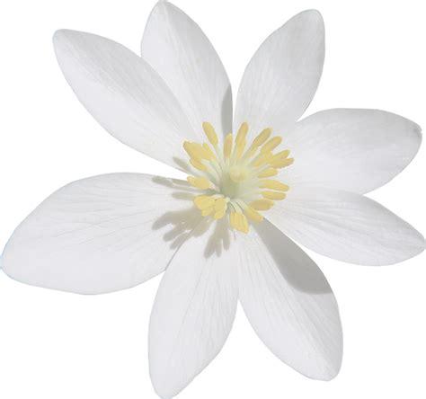 blood turmeric white flower cut  image  pixabay