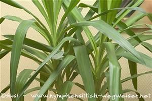 Yucca Palme Winterhart : yucca ~ Frokenaadalensverden.com Haus und Dekorationen