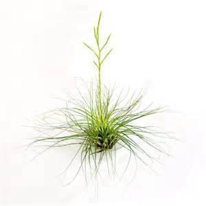 air plants filifolia air plants tillandsia filifolia