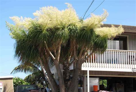 ponytail palm   care   ponytail plant