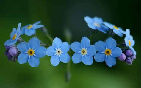 forget me nots forget me not sheryleigh