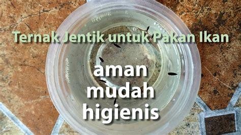 Jentik Nyamuk Untuk Pakan Ikan Cupang cara ternak jentik nyamuk untuk pakan ikan guppy dan