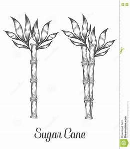 Sugar Cane Stem Branch And Leaf Vector Hand Drawn ...
