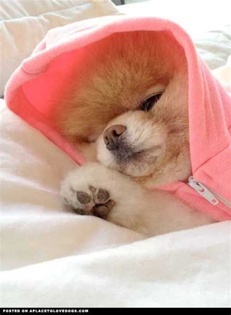 169 best images about boo the pomeranian on