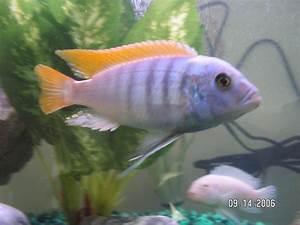 cichlids.com: Red fin Zebra