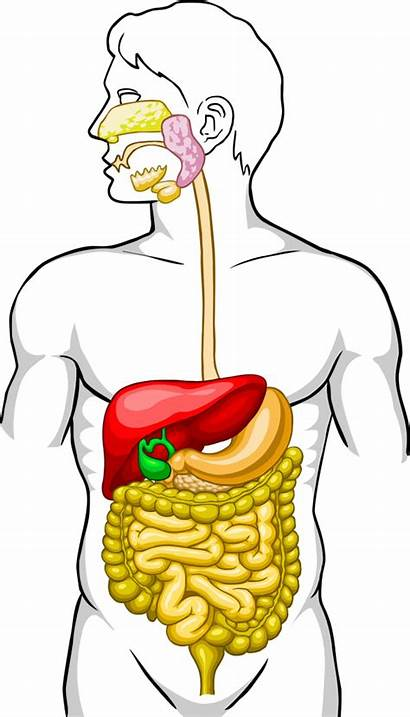 Digestive Diagram Unlabeled System Human Clipart