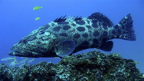 grouper animals tofo pets fish