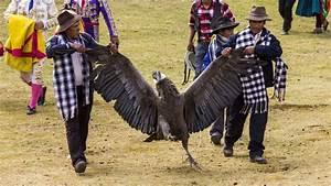 In Peru U0026 39 S Blood Festival  It U0026 39 S The Condor Versus The Bull