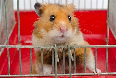 Hamster Cage Tips Cleaning Hamsters Syrian Awesome