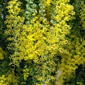 zinnia flower australian seed acacia pravissima