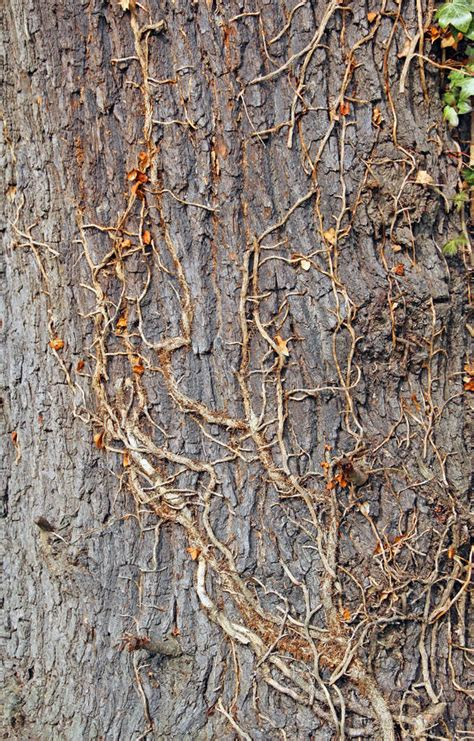 Mature Tree Bark And Ivy Climber Stock Image  Image 29994113