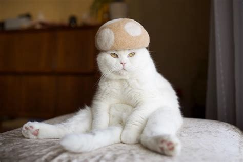 Cat Hair - cats wearing cat hair hats will make you fur get your