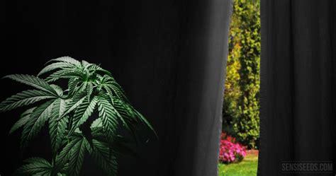 cannabis en floraison exterieur comment forcer la floraison du cannabis cultiv 233 en ext 233 rieur sensi
