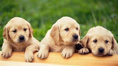 Desktop Wallpapers Puppy Puppies