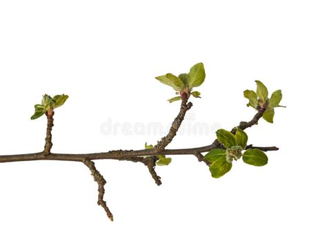 tree with white buds green apple twig isolated on white background stock photo image of background nature 69176414
