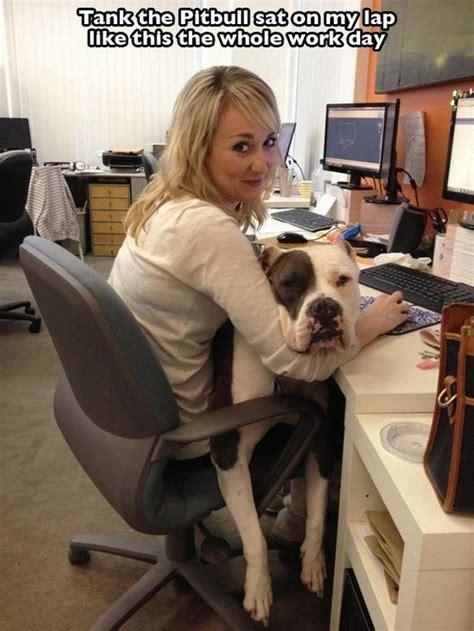 pictures  prove pit bulls    big softies