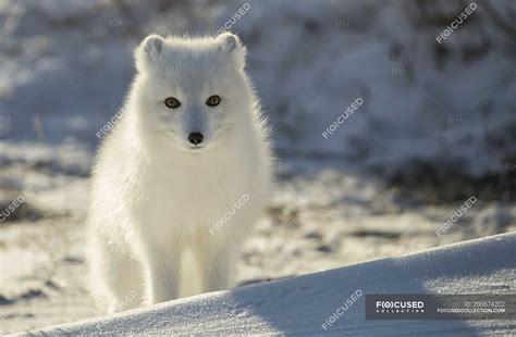 polarfuchs vulpes lagopus im schnee churchill manitoba