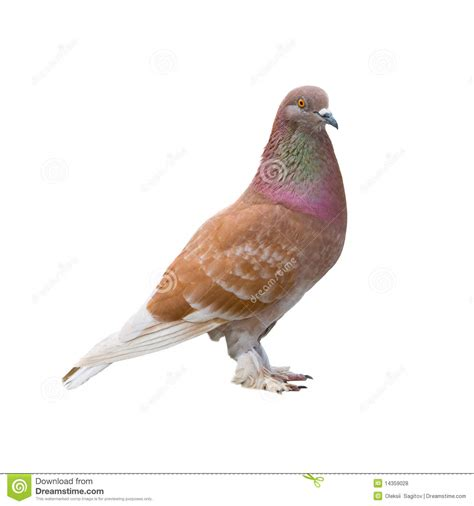 brown dove royalty free stock photos image 14359028