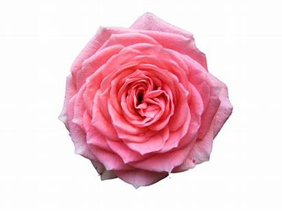 Rose Transparent Roses Flowers Icons Resolution Flower