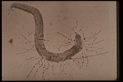 consumption  nematodes  fungi trap nematodes
