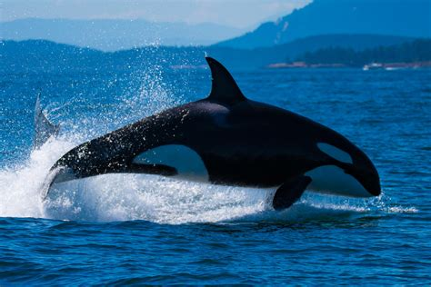 Spirit Of Orca Whale Watching & Wildlife Tours