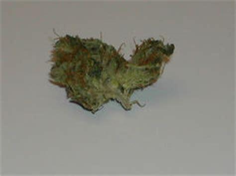 mj smells  ammonia cannabis mycotopia