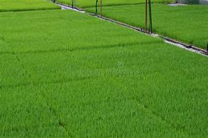 Rice Planting By Machine Stock Photo  Image Of Rice  Transplanting
