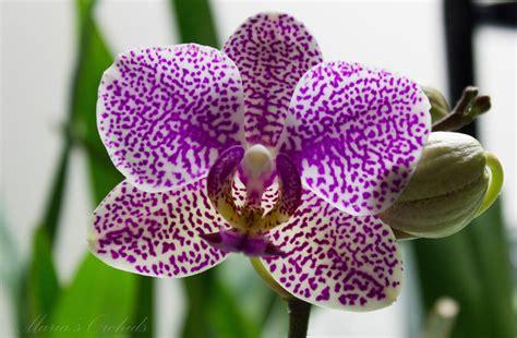 phalaenopsis bloom maria s orchids spotted noid phal in bloom