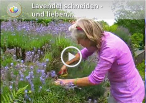 wann schneidet lavendel lavendel schneiden wann dr schweikart