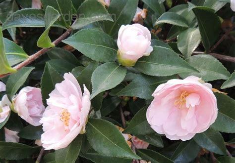common california flowers plantfiles pictures sasanqua camellia autumn camellia jean may camellia sasanqua by