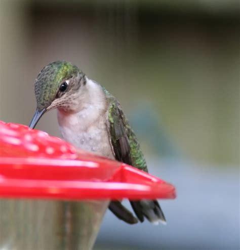 the hummingbirds are back the hummingbirds are back