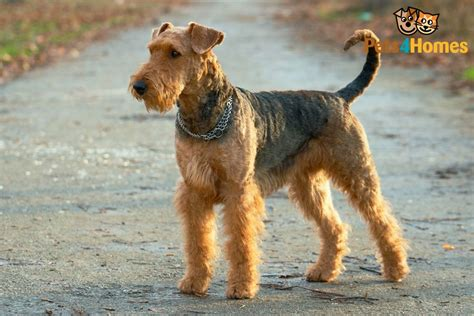 do airedale puppies shed airedale terrier breed information buying advice