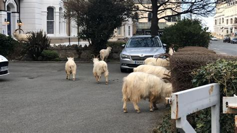wild goats seize  moment     uk town