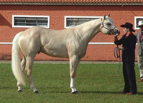 American Quarter Horse - Wikipedia