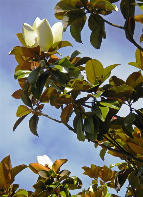 southern magnolia friends   urban forest