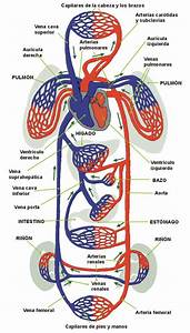 Standard Note  Structure Of Human Heart And Blood Circulation