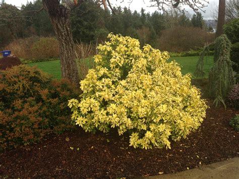 compact shrubs gardening tips   santa cruz mountains