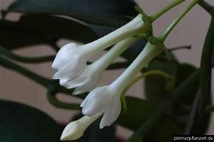 Pflegeleichte Zimmerpflanzen Mit Blüten : kranzschlinge stephanotis floribunda zimmerpflanzen pflege ~ Sanjose-hotels-ca.com Haus und Dekorationen