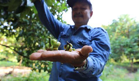 irradiated fruit flies  secret  protecting thailand