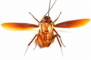 Können Kakerlaken Fliegen : kakerlaken warum fliegen diese plagegeister deine tiere ~ Watch28wear.com Haus und Dekorationen
