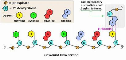 Dna Nucleic Parts Following Chemistry Acid Nucleotides