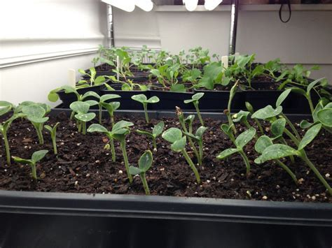 Top 28    Growing Eggplant From Seeds Vegetable   what to