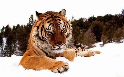 Tiger Wallpapers Awesome Stugon Picked Filled Royal