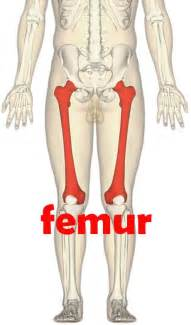 The Human Body Is the Largest Bone in the Femur